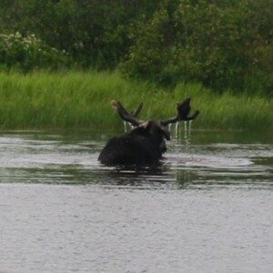 Authentic Maine Guided Moose Safaris