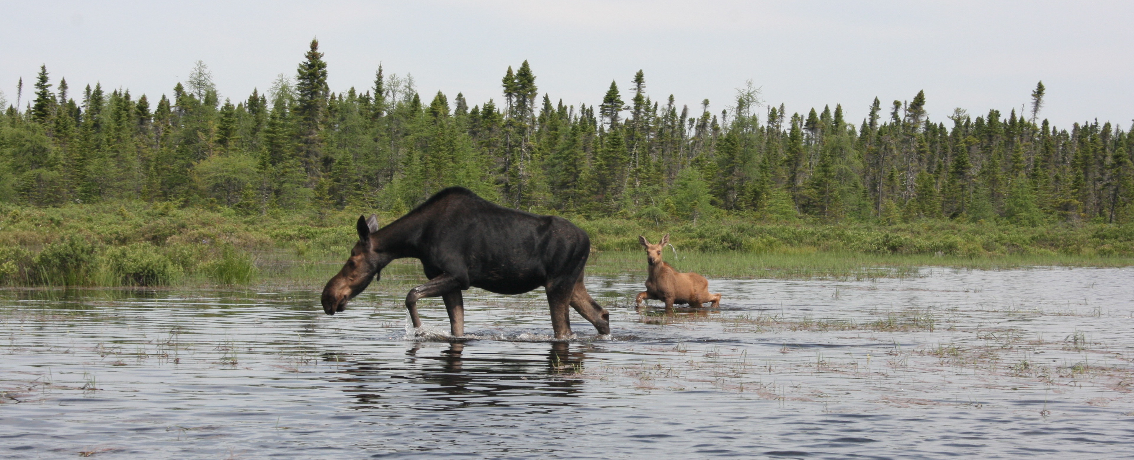 Maine Moose Safaris